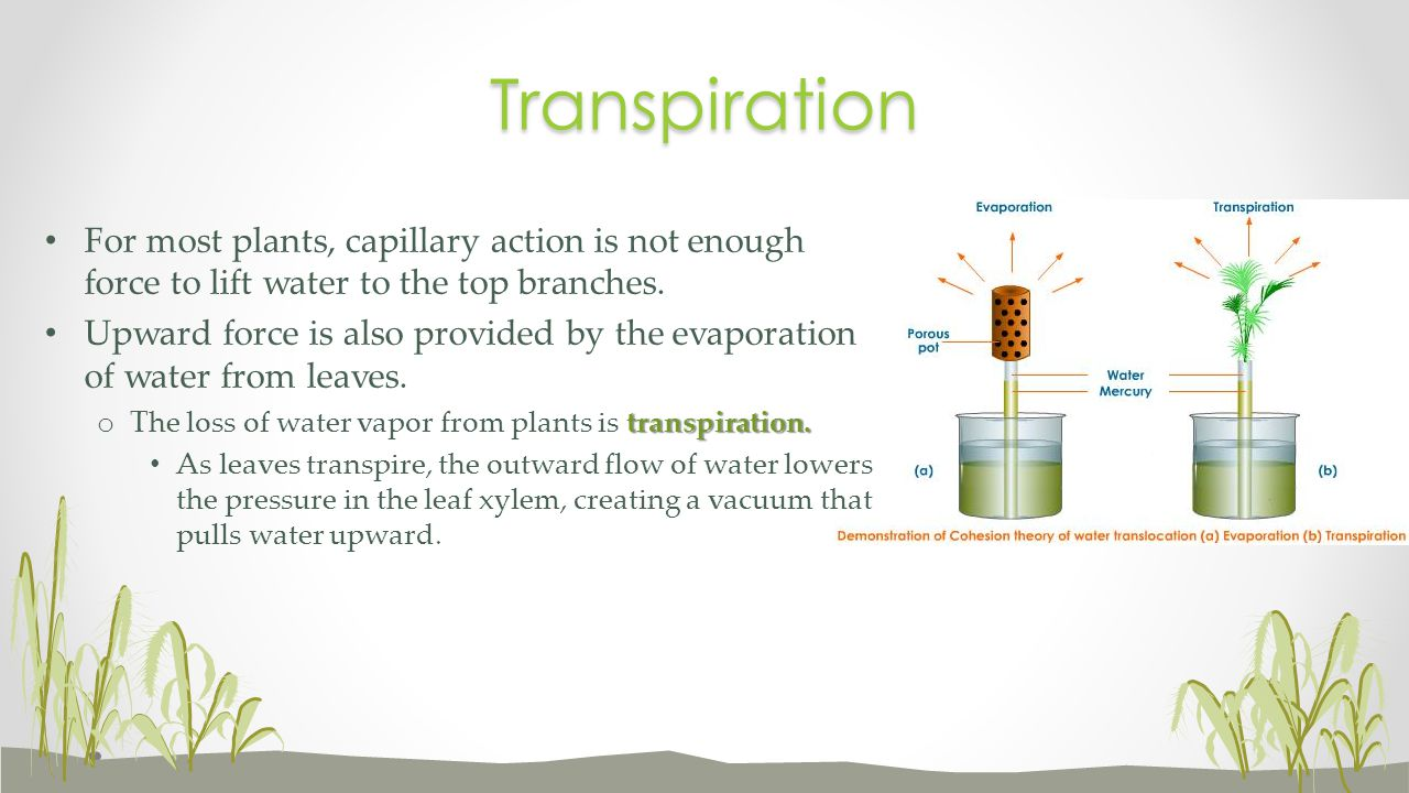 Transpiration For most plants, capillary action is not enough force to lift water to the top branches.