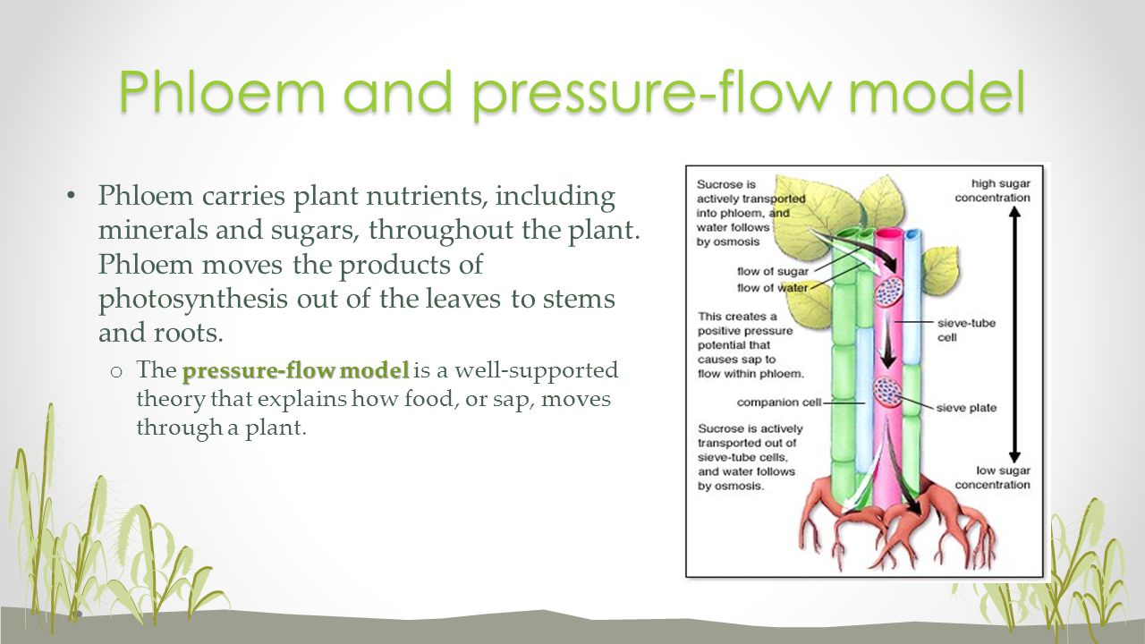Phloem and pressure-flow model