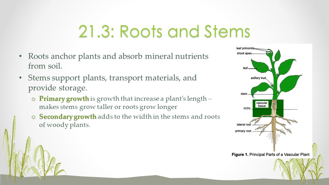21.3: Roots and Stems Roots anchor plants and absorb mineral nutrients from soil. Stems support plants, transport materials, and provide storage.