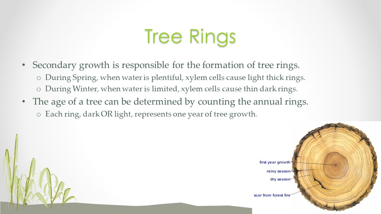 Tree Rings Secondary growth is responsible for the formation of tree rings.