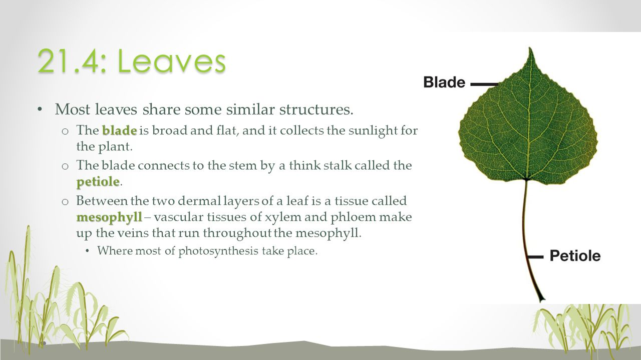21.4: Leaves Most leaves share some similar structures.