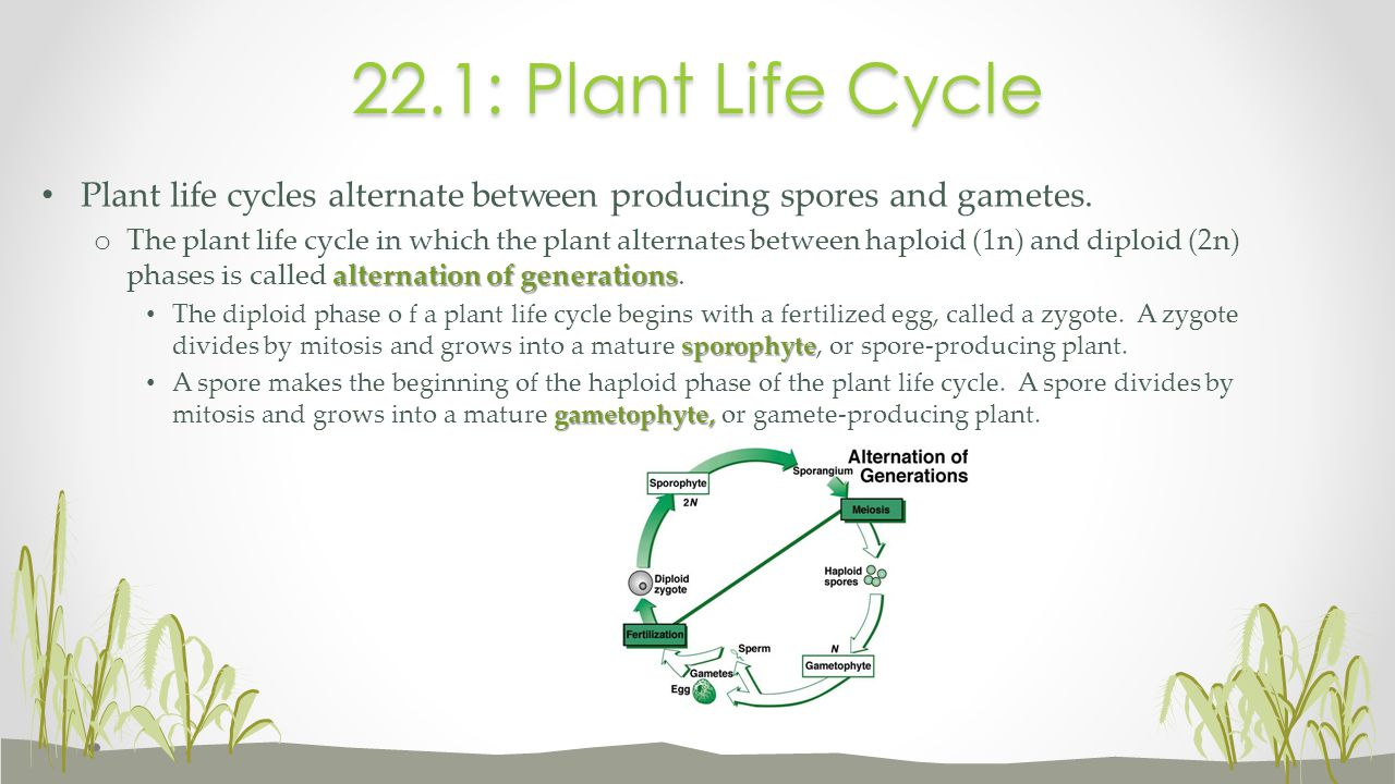 22.1: Plant Life Cycle Plant life cycles alternate between producing spores and gametes.