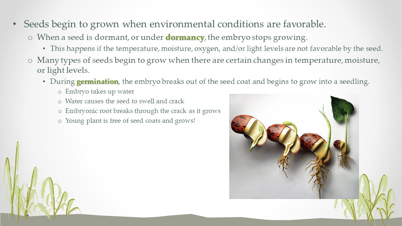 Seeds begin to grown when environmental conditions are favorable.