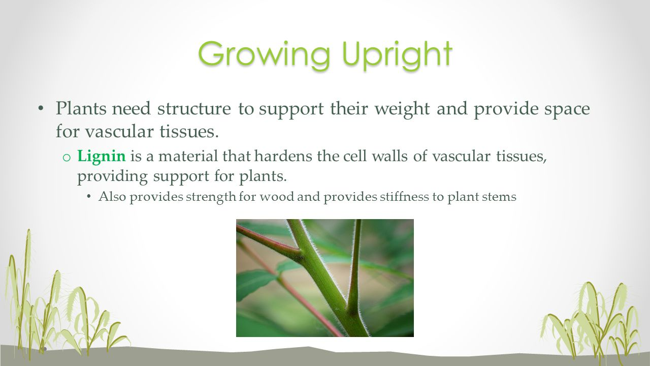 Growing Upright Plants need structure to support their weight and provide space for vascular tissues.
