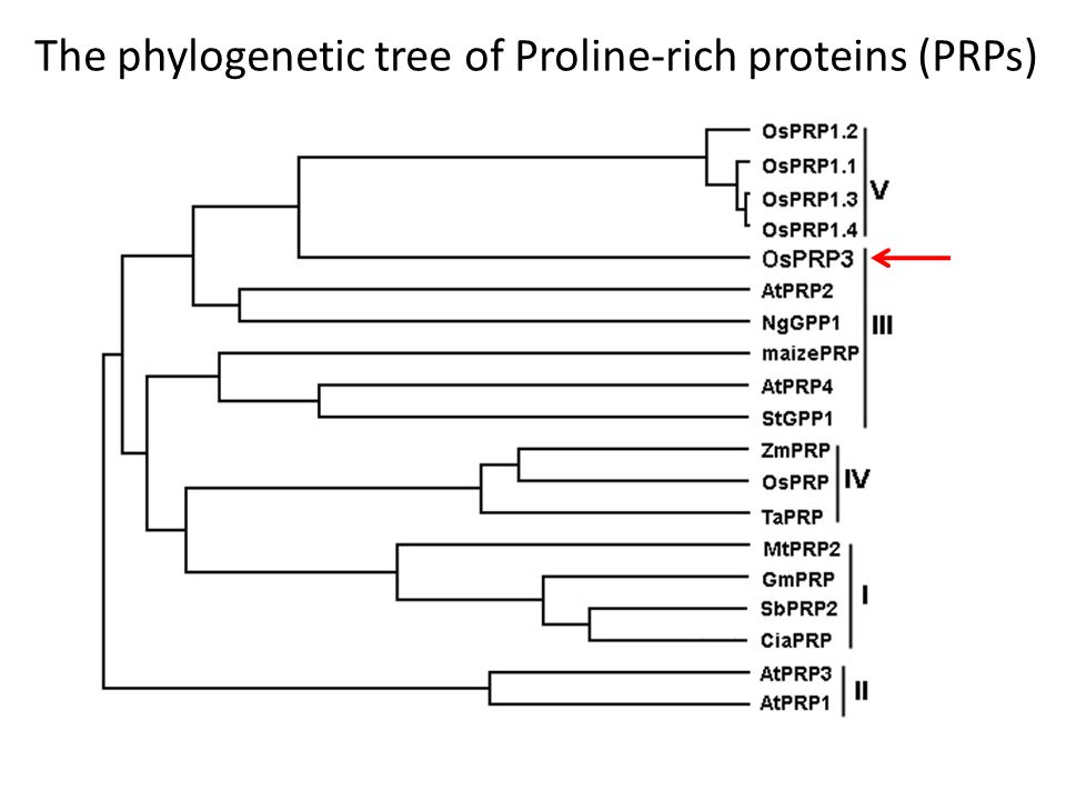 The phylogenetic tree of Proline-rich proteins (PRPs)