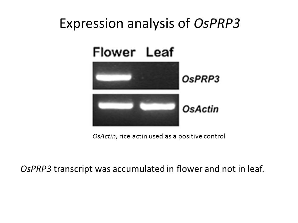 Expression analysis of OsPRP3