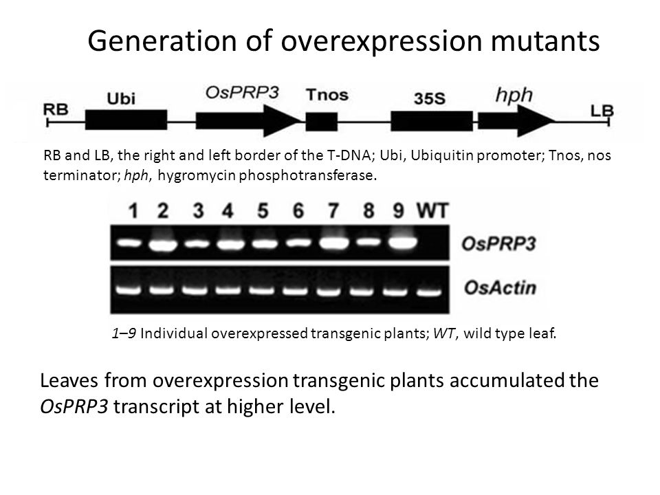 Generation of overexpression mutants
