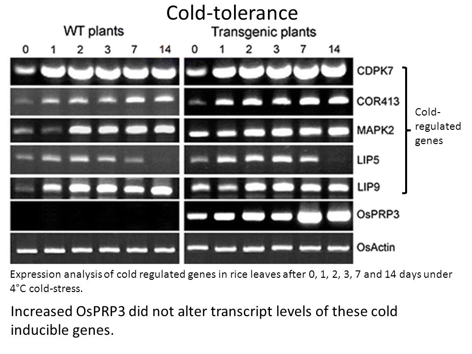 Cold-tolerance Cold-regulated genes.