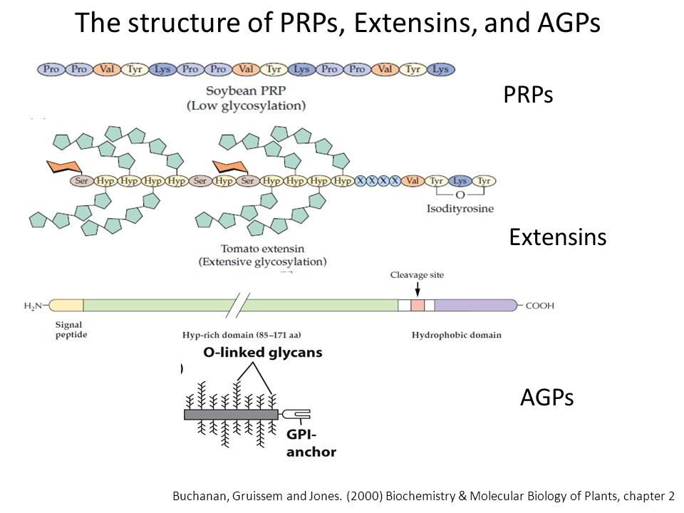 The structure of PRPs, Extensins, and AGPs