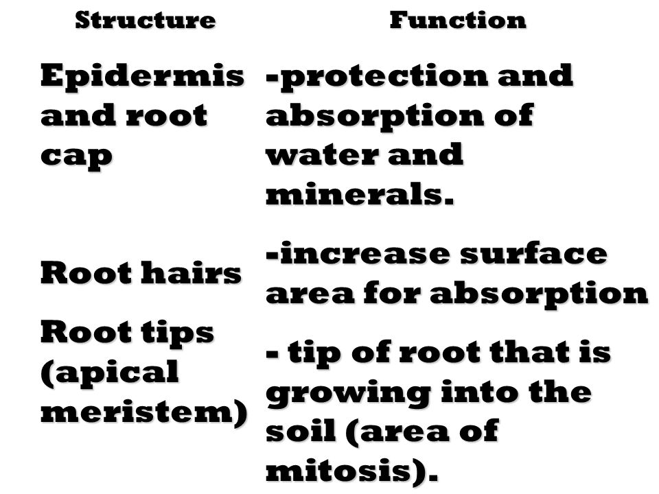 Root tips (apical meristem)