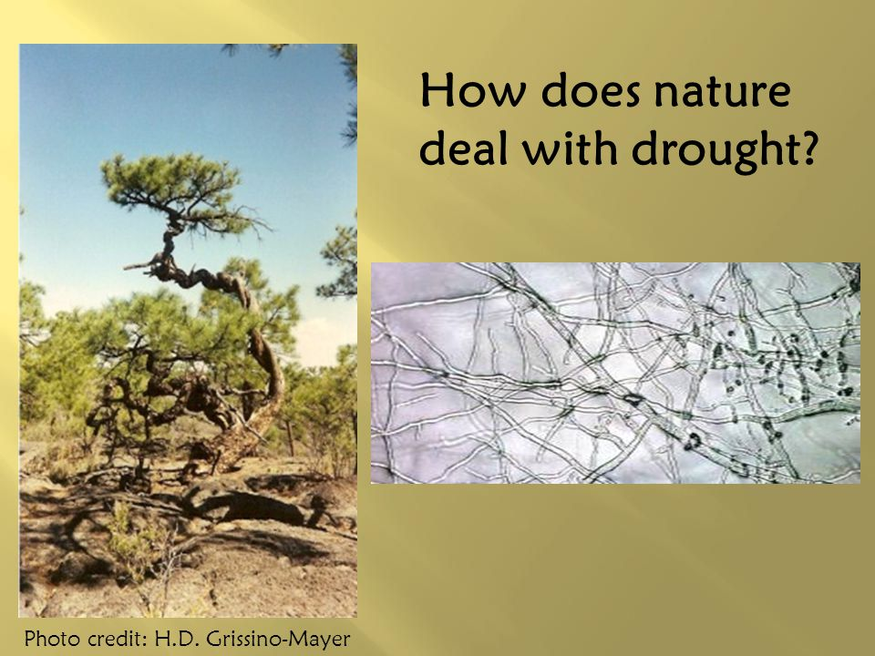 How does nature deal with drought Photo credit: H.D. Grissino-Mayer