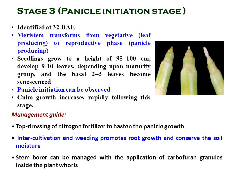 Stage 3 (Panicle initiation stage )