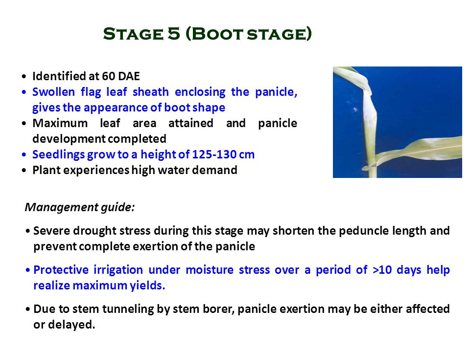 Stage 5 (Boot stage) Identified at 60 DAE