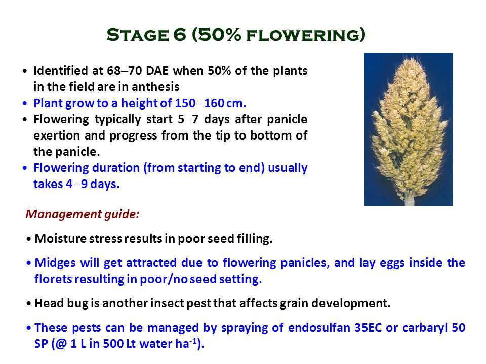 Stage 6 (50% flowering) Identified at 6870 DAE when 50% of the plants in the field are in anthesis.