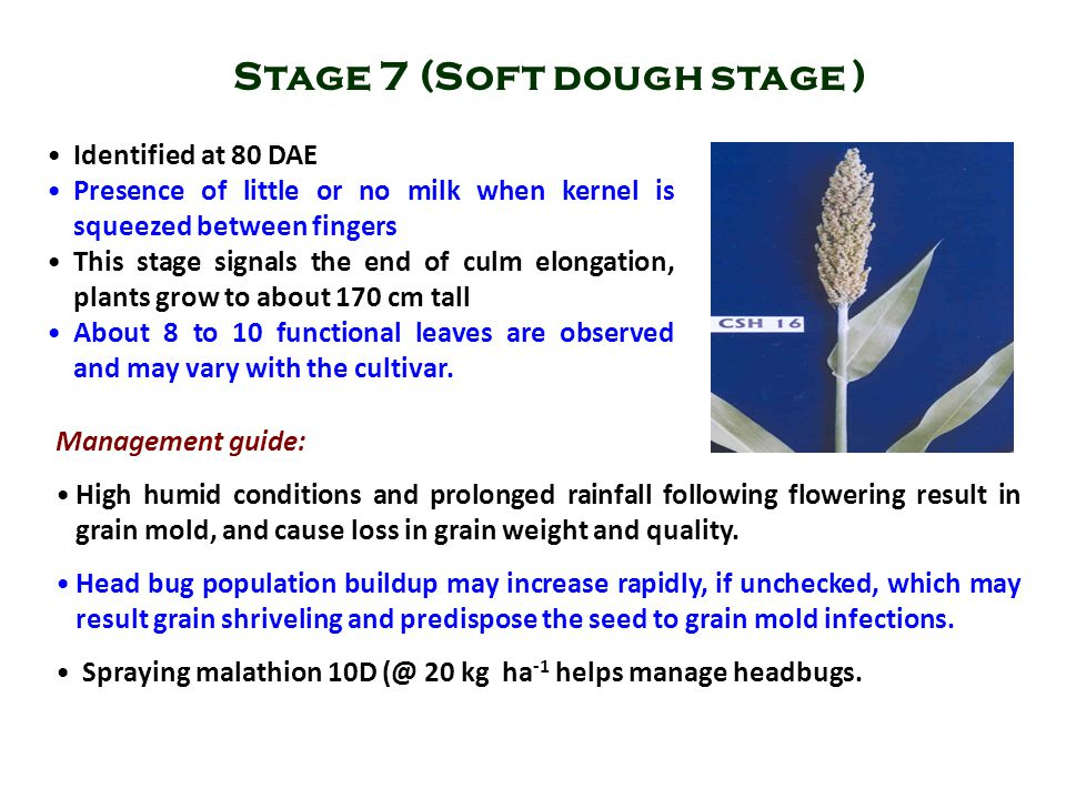 Stage 7 (Soft dough stage )