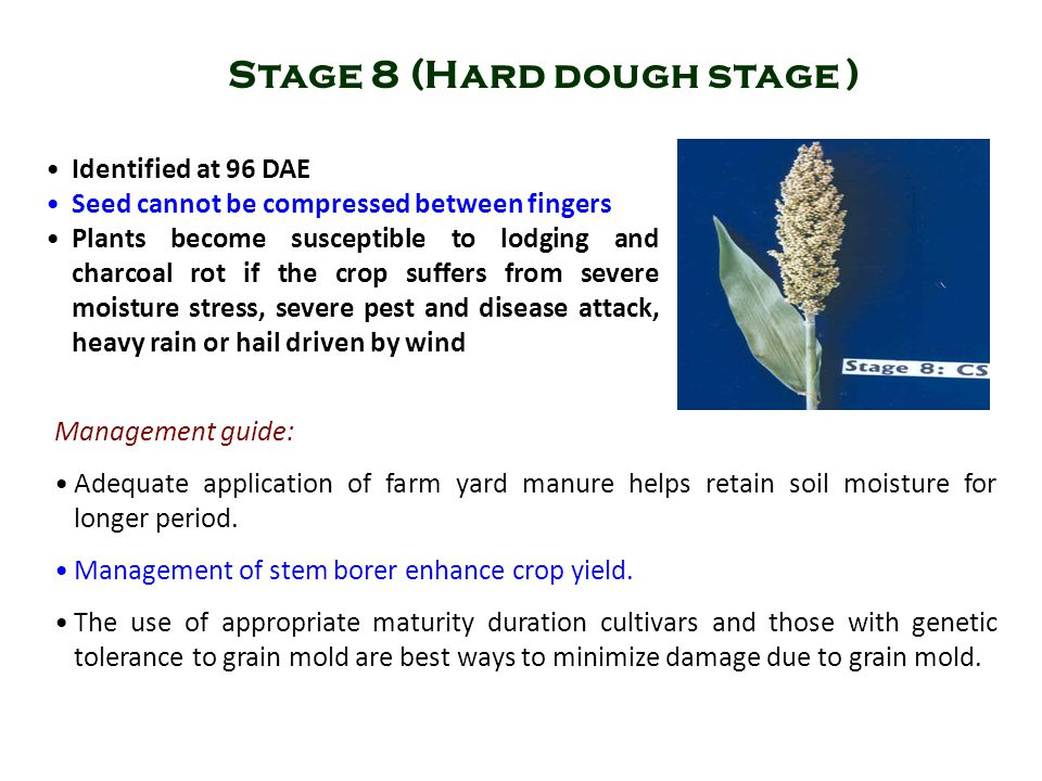 Stage 8 (Hard dough stage )