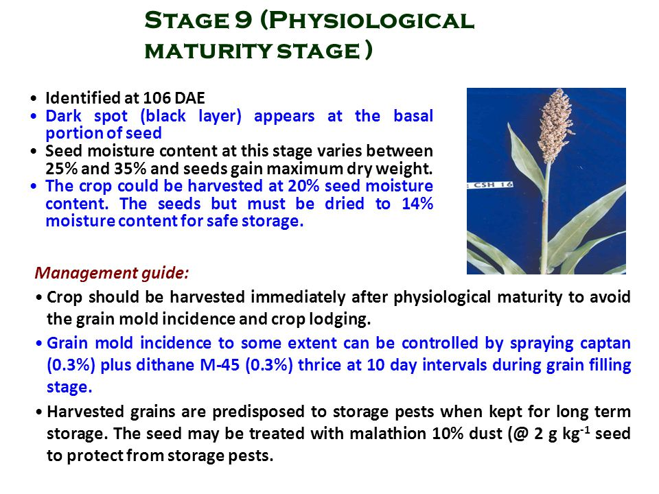 Stage 9 (Physiological maturity stage )