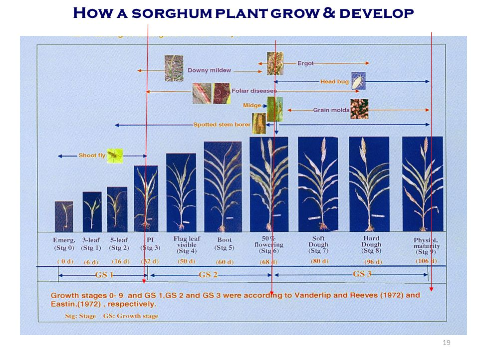 How a sorghum plant grow & develop