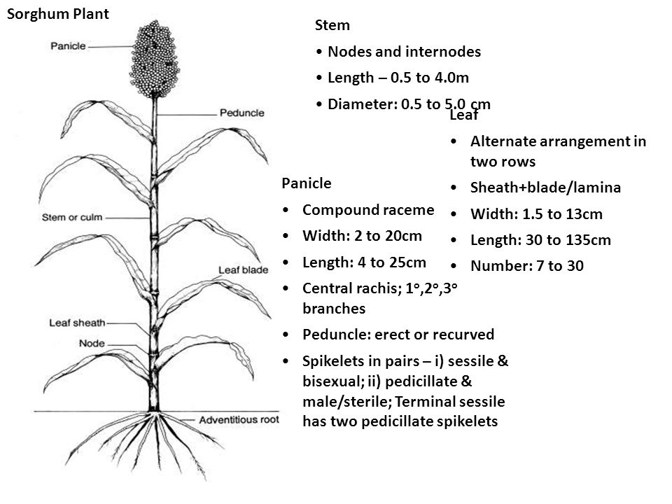 Sorghum Plant Stem. Nodes and internodes. Length – 0.5 to 4.0m. Diameter: 0.5 to 5.0 cm. Leaf. Alternate arrangement in two rows.
