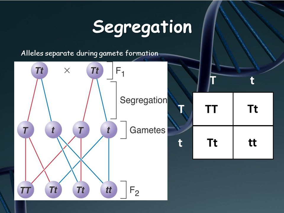Segregation Alleles separate during gamete formation.