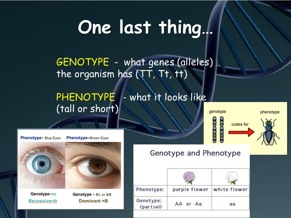 One last thing… GENOTYPE - what genes (alleles) the organism has (TT, Tt, tt) PHENOTYPE - what it looks like (tall or short)