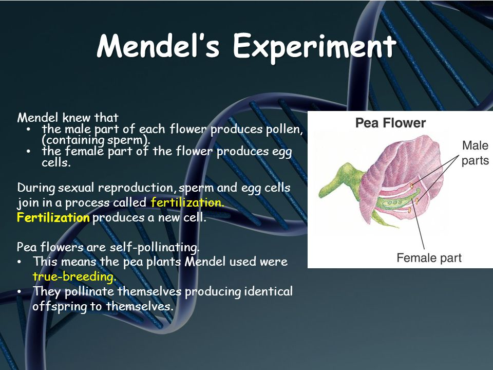Mendel's Experiment Mendel knew that