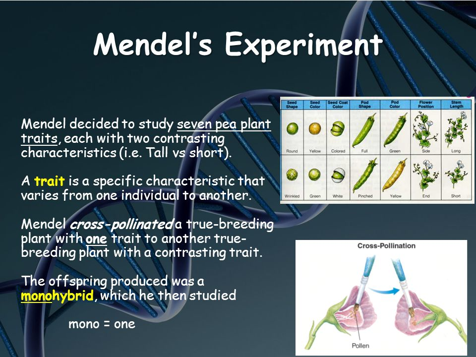 Mendel's Experiment Mendel decided to study seven pea plant traits, each with two contrasting characteristics (i.e. Tall vs short).