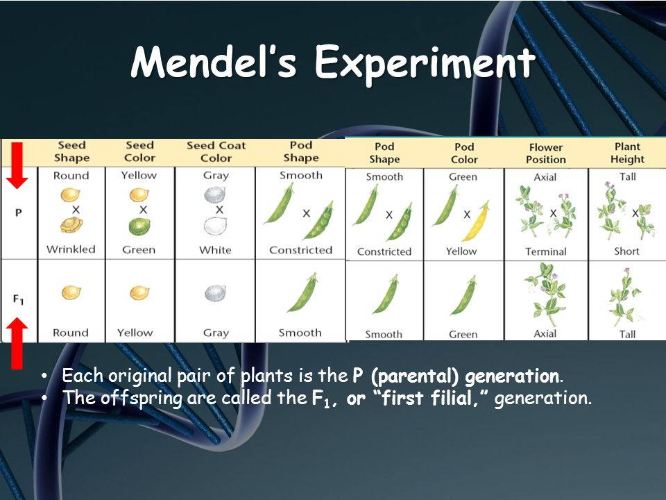Mendel's Experiment Each original pair of plants is the P (parental) generation.