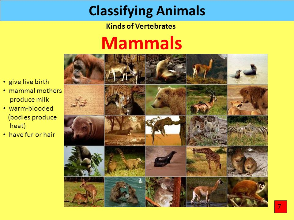 Mammals Classifying Animals Kinds of Vertebrates give live birth