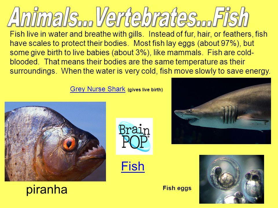 Animals...Vertebrates...Fish Fish piranha