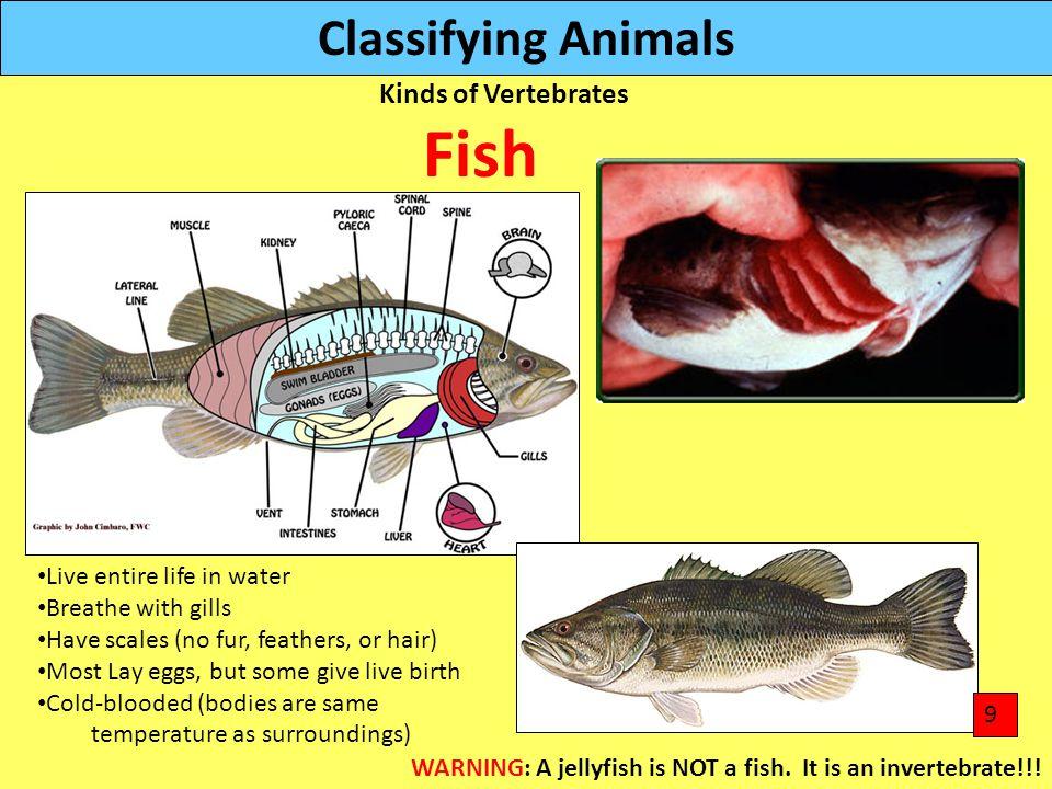 Fish Classifying Animals Kinds of Vertebrates