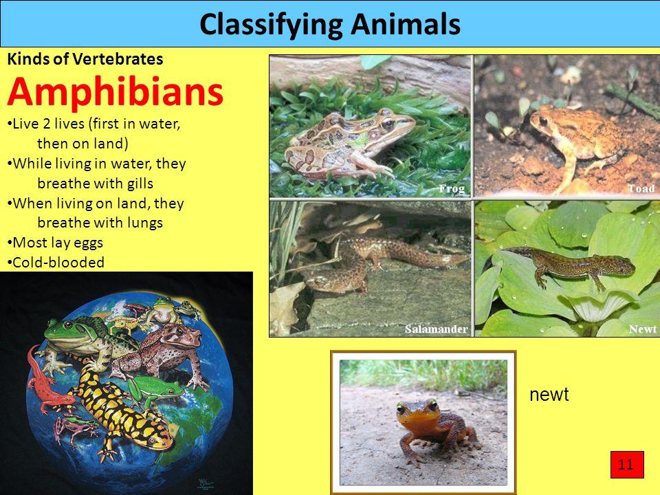Amphibians Classifying Animals Kinds of Vertebrates newt