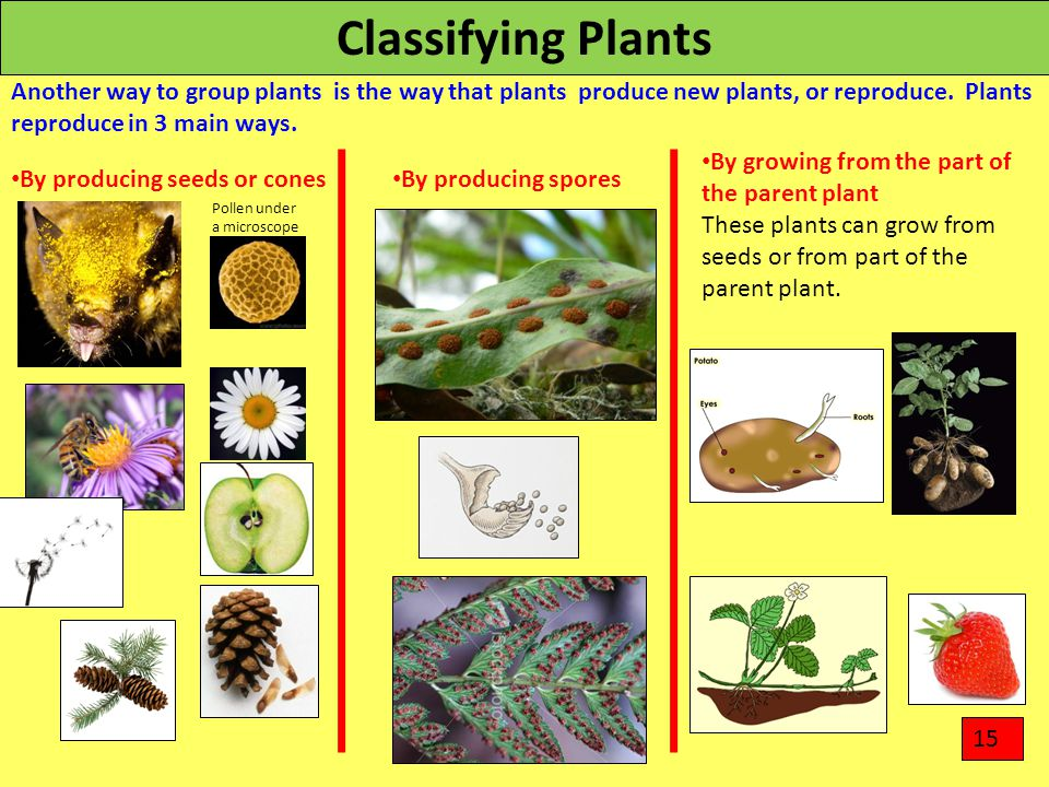 Classifying Plants Another way to group plants is the way that plants produce new plants, or reproduce. Plants reproduce in 3 main ways.