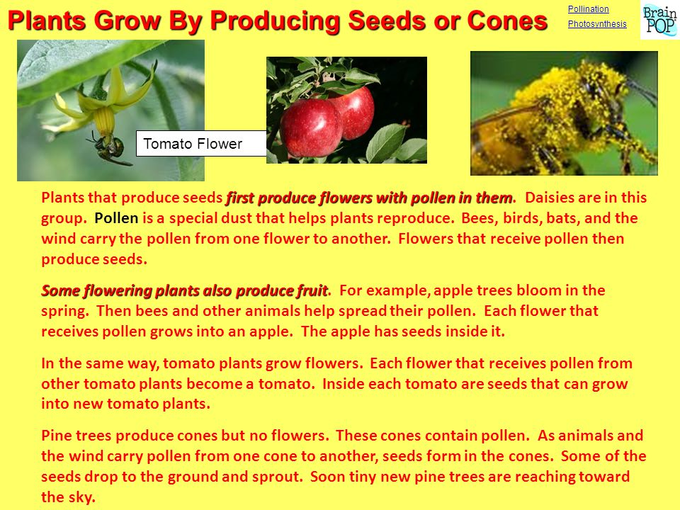Plants Grow By Producing Seeds or Cones