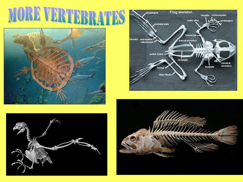 More Vertebrates