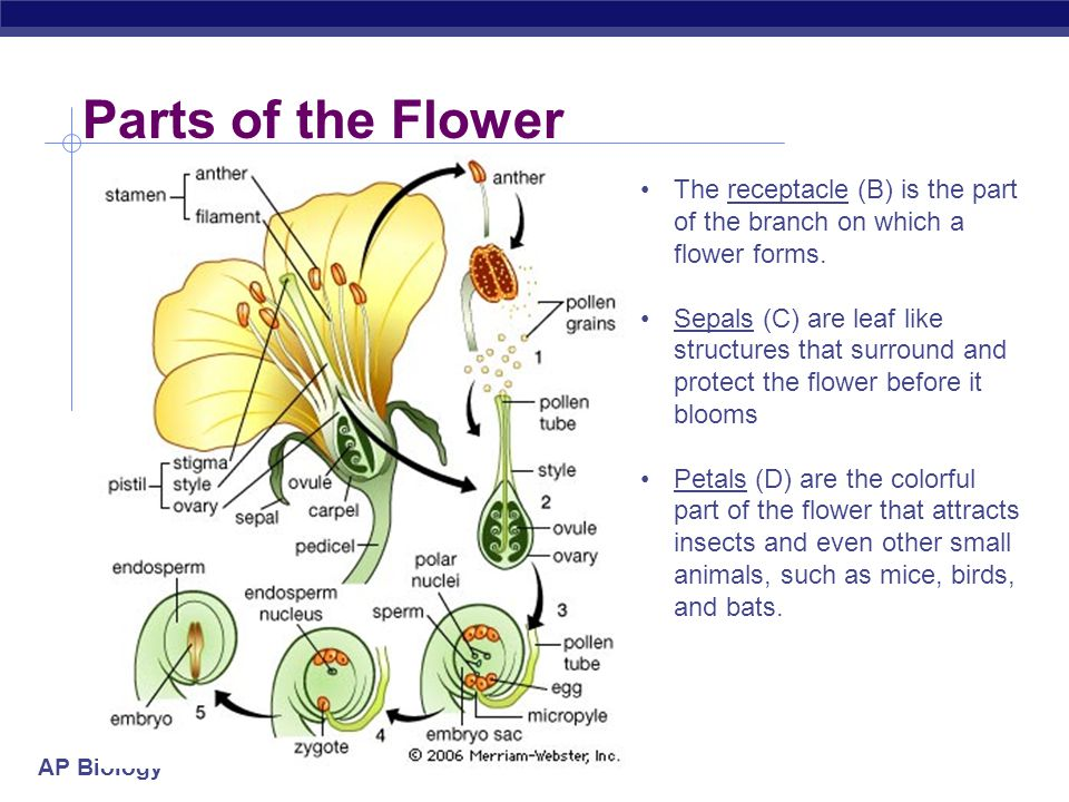 Parts of the Flower The receptacle (B) is the part of the branch on which a flower forms.