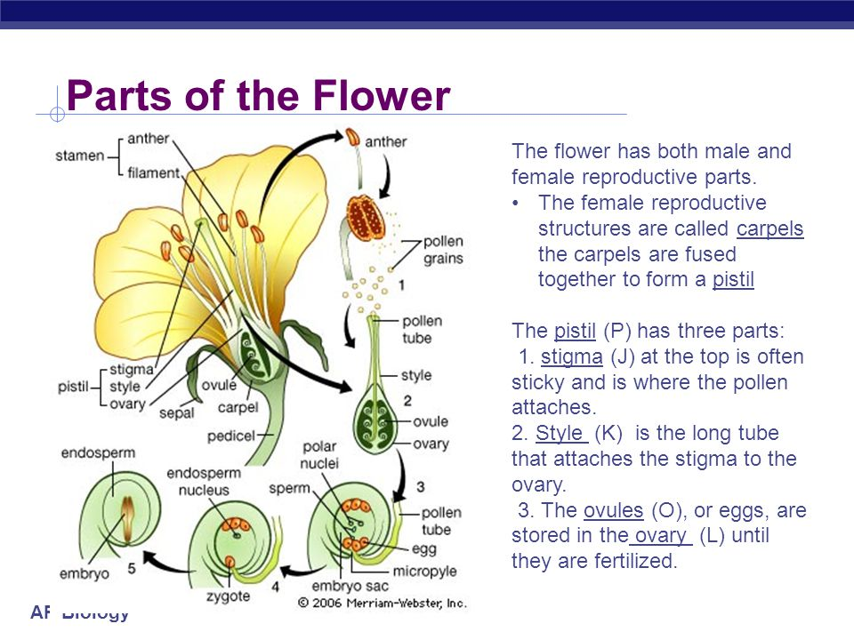 Parts of the Flower The flower has both male and female reproductive parts.
