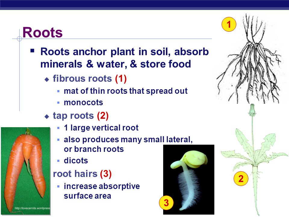 1 Roots. Roots anchor plant in soil, absorb minerals & water, & store food. fibrous roots (1) mat of thin roots that spread out.