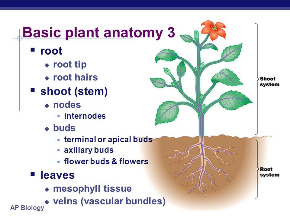 Basic plant anatomy 3 root shoot (stem) leaves root tip root hairs