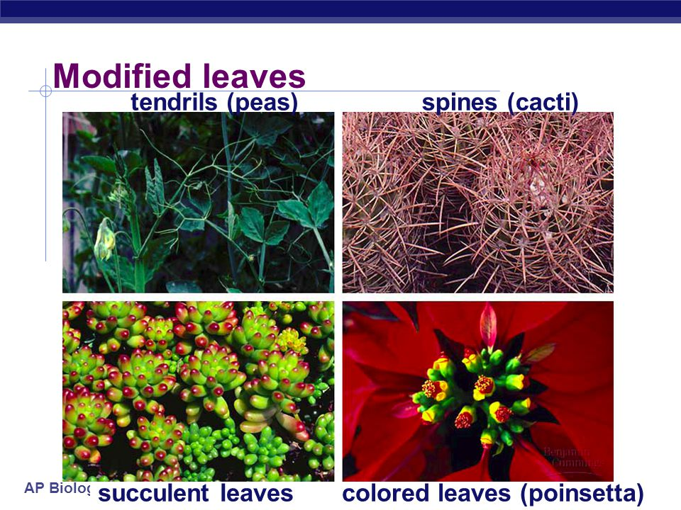 colored leaves (poinsetta)