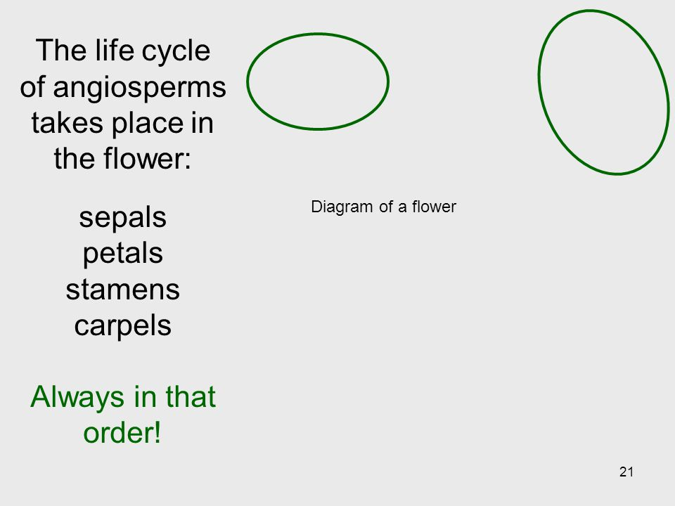 The life cycle of angiosperms takes place in the flower:
