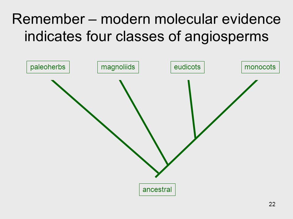 Remember – modern molecular evidence indicates four classes of angiosperms