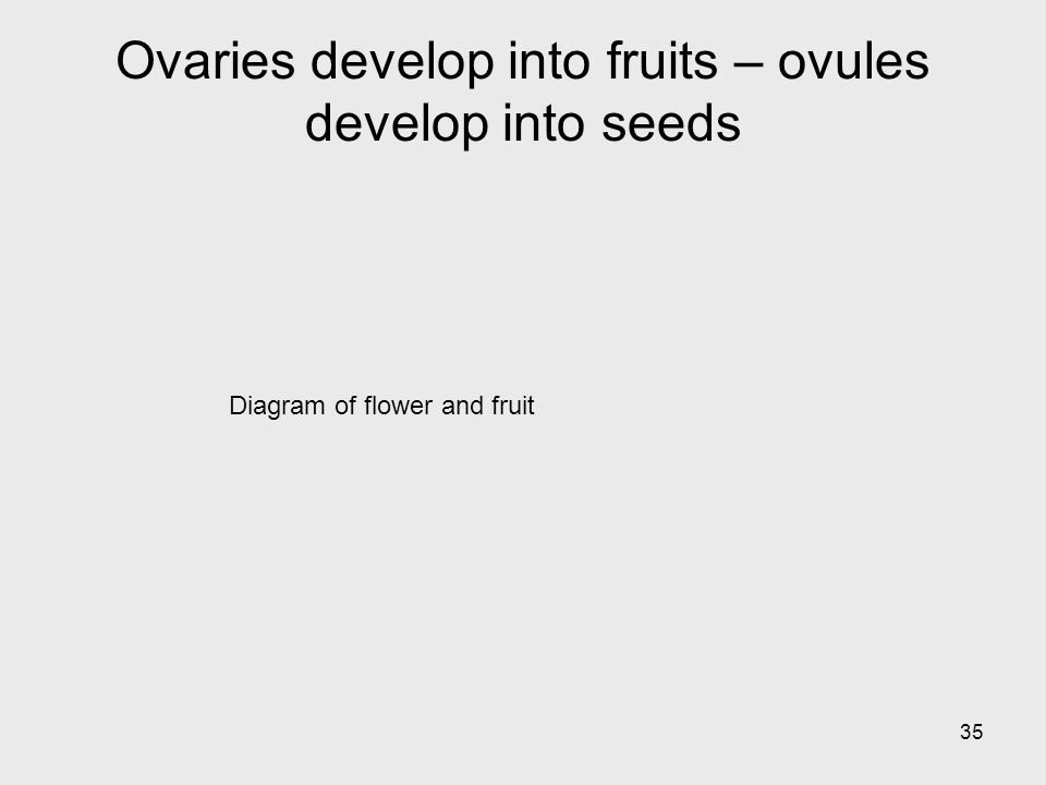 Ovaries develop into fruits – ovules develop into seeds