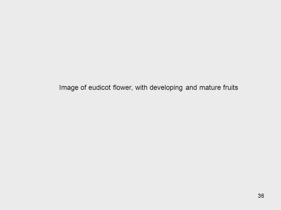 Image of eudicot flower, with developing and mature fruits