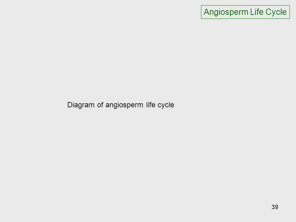 Angiosperm Life Cycle Diagram of angiosperm life cycle