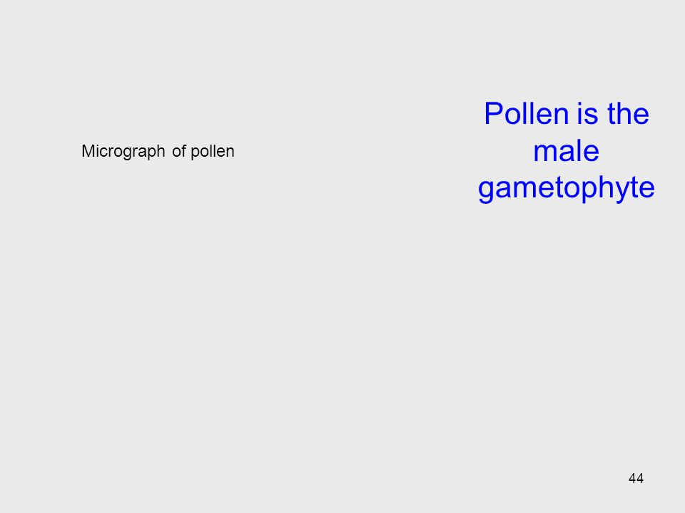 Pollen is the male gametophyte