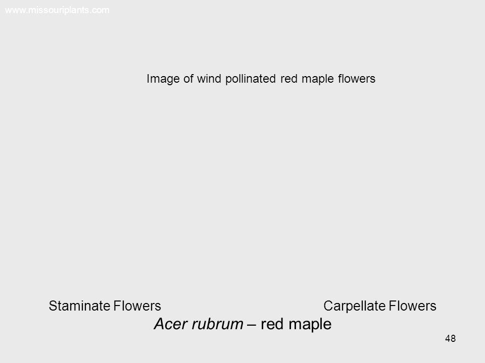 Staminate Flowers Carpellate Flowers