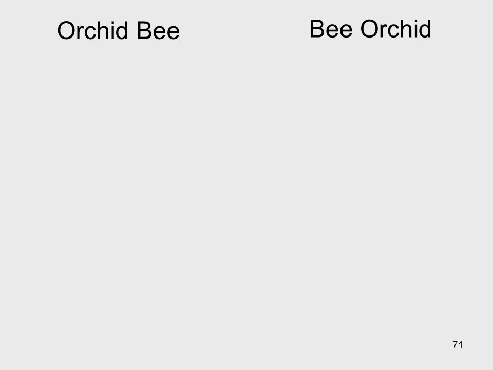 Orchid Bee Bee Orchid
