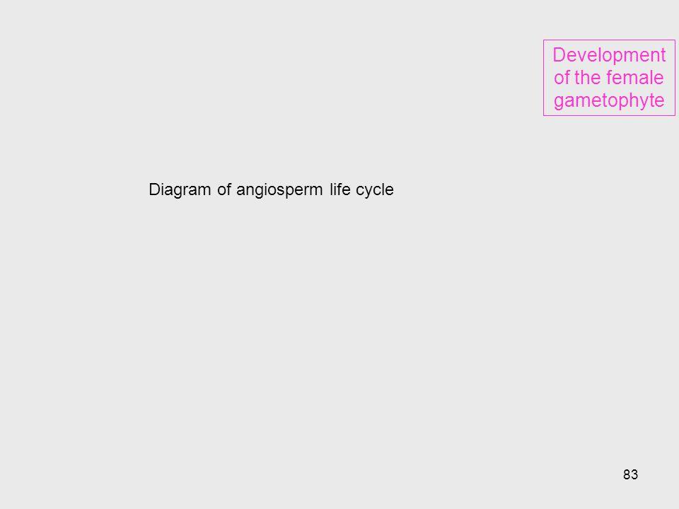Development of the female gametophyte
