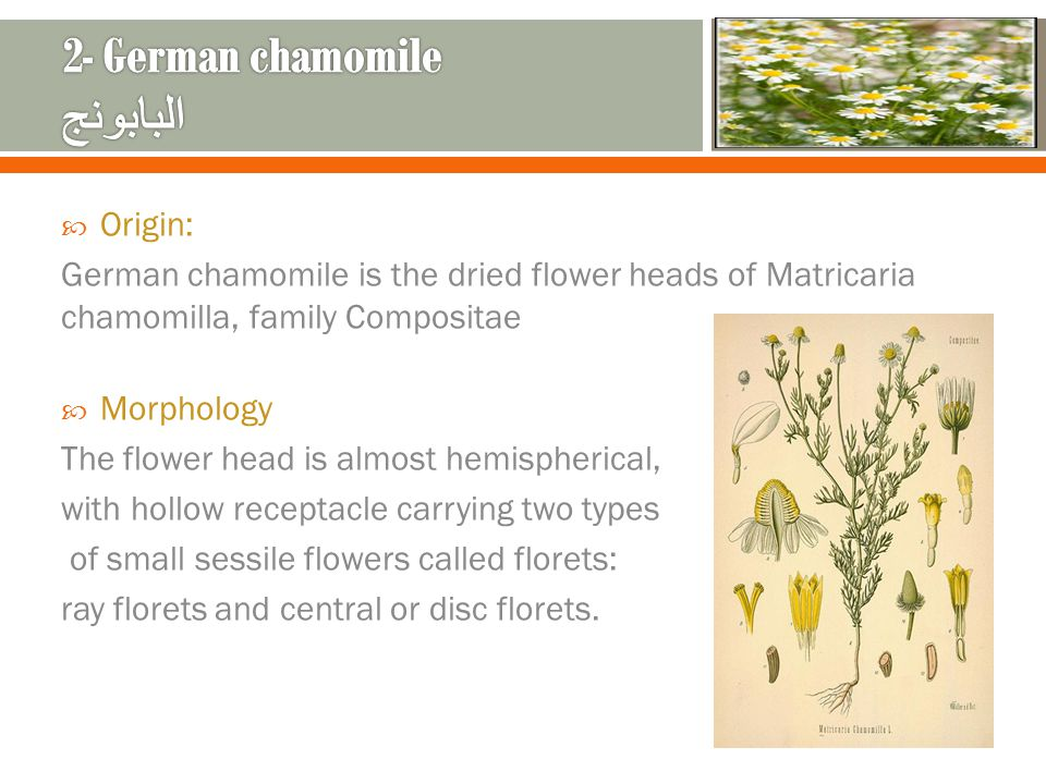 2- German chamomile البابونج